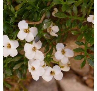 Hornungia-alpina-Globuli