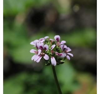 Pelargonium-inodorum-Globuli