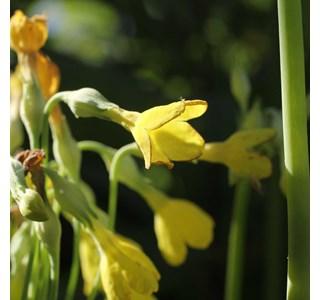 Primula-florindae-Globuli
