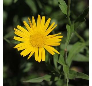 Buphthalmum-salicifolium-Globuli