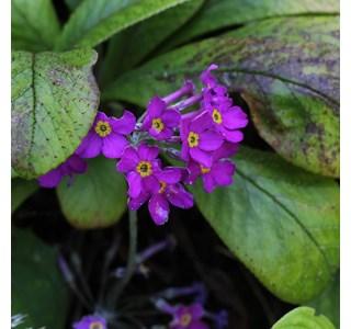 Primula-beesiana-Globuli