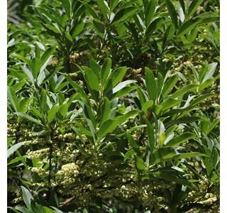 Elaeocarpus-sylvestris-Globuli