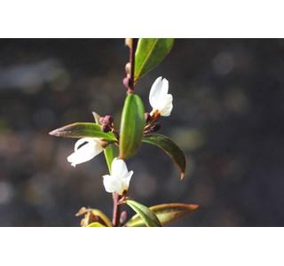 Abeliophyllum-distichum-Globuli