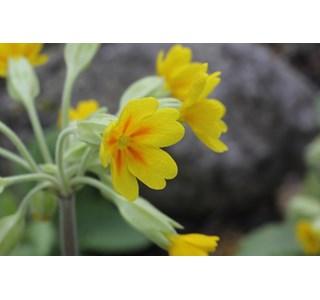 Primula-reticulata-Globuli