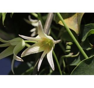 Stauntonia-hexaphylla-Globuli