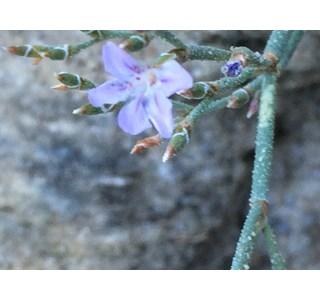 Limonium-bellidifolium-Globuli