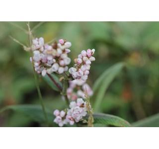Persicaria-campanulata-Globuli