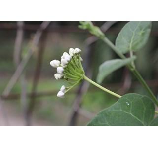 Dregea-sinensis-Globuli