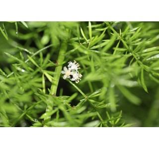 Asparagus-densiflorus-Globuli