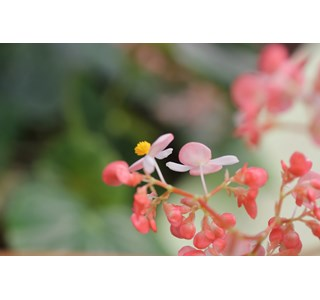 Begonia-minor-Globuli