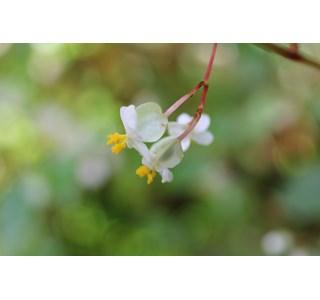 Begonia-wrightiana-Globuli
