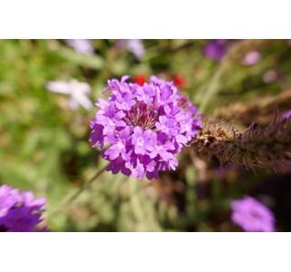 Glandularia-peruviana-Globuli
