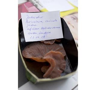 Auricularia-auricula-judea-Globuli