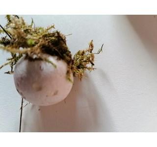 Bovista-plumbea-Globuli