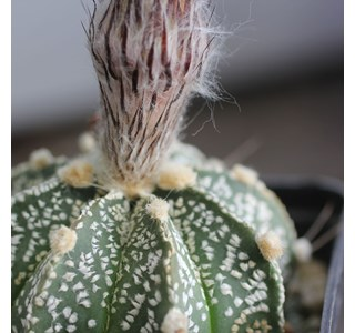 Astrophytum-capricorne-homoeopathie