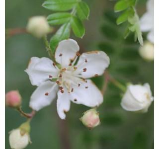 Osteomeles-anthyllidifolia-homoeopathie