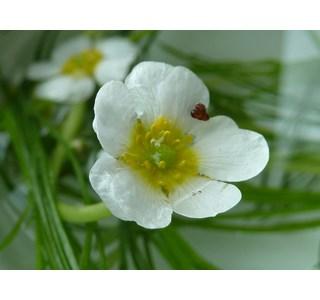 Ranunculus-fluitans-Homoeopathie
