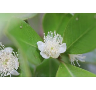 Campomanesia-guaviroba-Homoeopathie