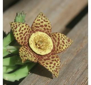Orbea-variegata