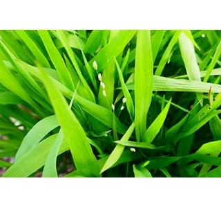 Chasmanthium-latifolium-globuli
