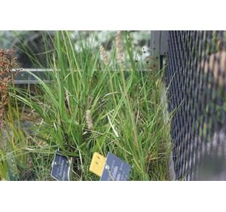 Tofieldia-calyculata