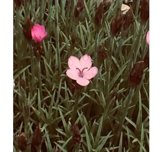 Dianthus-arpadianus