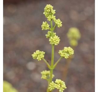Kalanchoe-rotundifolia