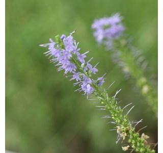 Veronica-longifolia